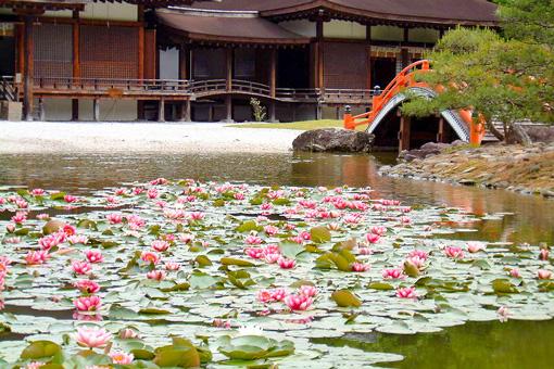 伽羅御所の池に浮かぶ睡蓮